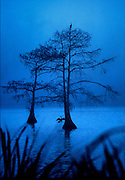 """Anhingas in Cypress near Avery Island"", 28"" x 40"" inkjet photograph on canvas.  $700"