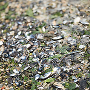 Shells on the beach of Ushuaia, Argentina.