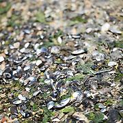 Shells on the beach of Ushuaia, Argentina.