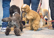 © Licensed to London News Pictures. 05/03/2015. Birmingham, UK Dogs and owners arrive at Day one of Crufts 2015 the most prestigious dog show in the world on 5th March 2015. Photo credit : Stephen Simpson/LNP