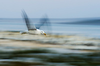 Blurred flight of a Kelp Gull, Malgas Island, West Coast National Park, Western Cape, South Africa
