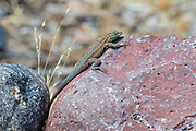 A common side-blotched lizard (Uta stansburiana) rests between two rocks in the Sonoran Desert near Superior, Arizona.