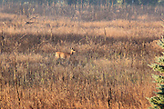 At sunrise, one lone white-tailed deer cautiously makes its way across an open Wexford County meadow.