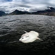 This is an ocean sunfish (Mola mola), around 1.5m in length, basking on the ocean surface near land. One hypothesis concerning why these fish engage in such behavior is that they seek the help of ocean-going birds to remove parasites. Sunfish are host to many species of parasites, including copepods and nematodes.