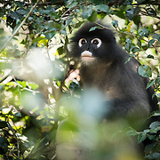 Dusky Langur (Trachypithecus obscurus) male in Kaeng Krachan national park, Thailand