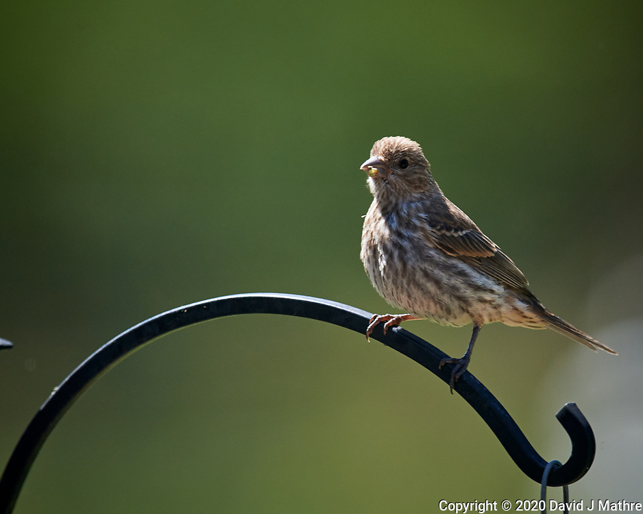 House Finch. Image taken with a Nikon D5 camera and 600 mm f/4 VR telephoto lens (ISO 560, 600 mm, f/5.6, 1/1250 sec).