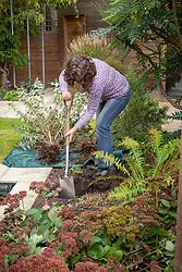 Moving a shrub (buddleia)