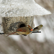 Northern Female Cardinal, Goldfinch and Hairy Woodpecker at safflower feeder