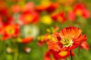 poppy, New Zealand