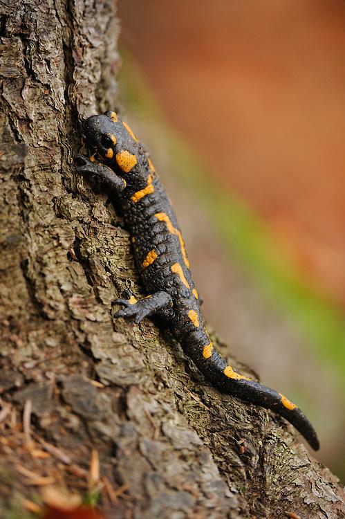 Fire Salamander (Salamandra salamandra), National Park Piatra Craiului, Transylvania, Southern Carpathians, Romania
