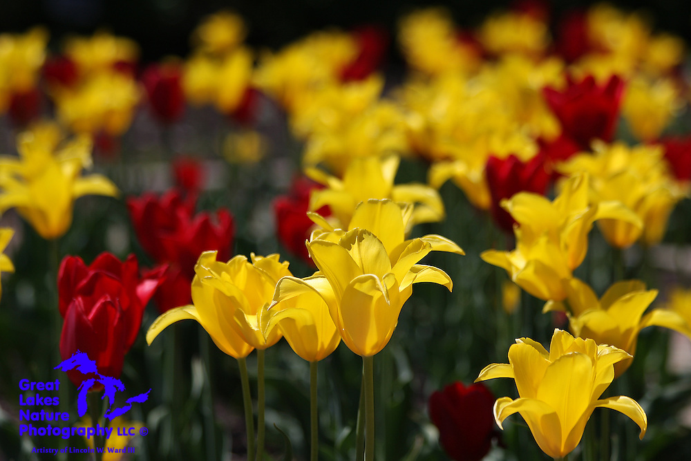 Another view of the magnificent tulips at the Green Bay Botanical Garden in the spring of 2009.
