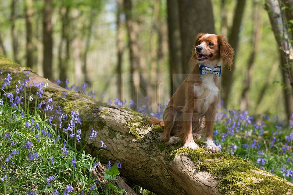 © Licensed to London News Pictures. 21/04/2018. Vigo, UK. One year old Cockapoo Pip enjoying Kent bluebells. The bluebells are now in full bloom at Trosley Country Park Photo in the village of Vigo near to Gravesend in Kent. credit : Rob Powell/LNP
