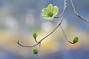 Dogwood Blossom, early spring, Yosemite National Park, California 2015