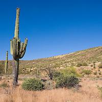 Saguaro cacti (Cereus giganteus), Arizona USA