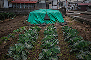 Irradiated topsoil removed during decontamination stored in a field planted with a bitter winter leafy green, spotlighting how radioactive elements like cesium 137, have entered the food chain on the outskirts of Fukushima City, five years after the meltdown at Fukushima Daiichi.  Japan.