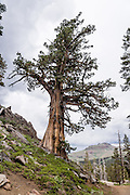 Stunted pine tree. Off Highway 88 near Carson Pass, hike a varied loop through lush wildflower fields from Woods Lake Campground to Winnnemucca Lake then Round Top Lake, in Mokelumne Wilderness, Eldorado National Forest, Sierra Nevada, California, USA. The excellent loop trail is 5.3 miles with 1250 feet gain (or 6.4 miles with 2170 feet gain if adding the scramble up Round Top).