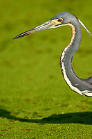 Tricolored Heron (Egretta tricolor), close-up of head  Green Cay Nature Area   Photo: Peter Llewellyn