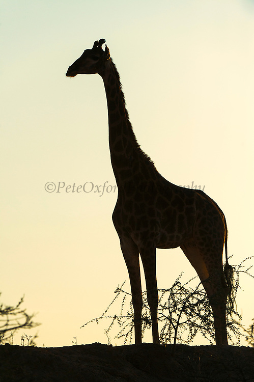 Giraffe (Giraffa camelopardalis)<br /> Marakele Private Reserve, Waterberg Biosphere Reserve<br /> Limpopo Province<br /> SOUTH AFRICA<br /> RANGE: Savanna regions in scattered isolated pockets of Sub-Saharan Africa.