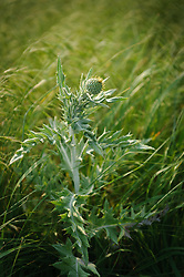 This wavy-leaf thistle was photographed in the Tallgrass Prairie National Preserve located in the Kansas Flint Hills. American Indians ate the roots of the wavy-leaf thistle and also used the roots to make an eye wash tea for the treatment for eye diseases in people and livestock. The 10,894-acre Tallgrass Prairie National Preserve is located in Chase County near the towns of Strong City and Cottonwood Falls. Less than four percent of the original 140 million acres of tallgrass prairie remains in North America. Most of the remaining tallgrass prairie is in the Flint Hills in Kansas. Tallgrass Prairie National Preserve is the only unit of the National Park Service dedicated to the preservation of the tallgrass prairie ecosystem. The Tallgrass Prairie National Preserve is co-managed with The Nature Conservancy.
