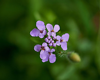 Small Purple Wildflower. Image taken with a Fuji X-H1 camera and 80 mm f/2.8 macro lens