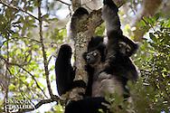 L'Indri (Indri indri) est endémique des forêts de l'Est de Madagascar, c'est le plus gros lémurien actuel. Habituellement noir et blanc l'indri d'Anjozorobe est quasiment intégralement noir. Statut IUCN : Endangered