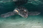 leatherback sea turtle, Dermochelys coriacea ( Critically Endangered species ), with deep scar around right flipper base, almost certainly from entanglement in fishing gear, Parque Nacional Jaragua, Dominican Republic ( Caribbean Sea )