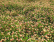 Glenallen clover fields in bloom along the Richardson Highway