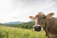 Brown Swiss Cow closeup in a mountain meadow