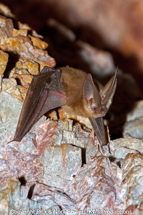 Townsend's Big-eared Bat <br /> Plecotus townsendii<br /> Harquahala Mountains, nw of Phoenix, Arizona, United States<br /> 17 April    Adult      Vespertilionidae