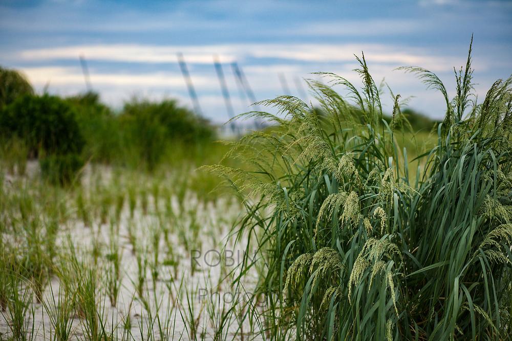 Grasses on dunes in Ventor, NJ.