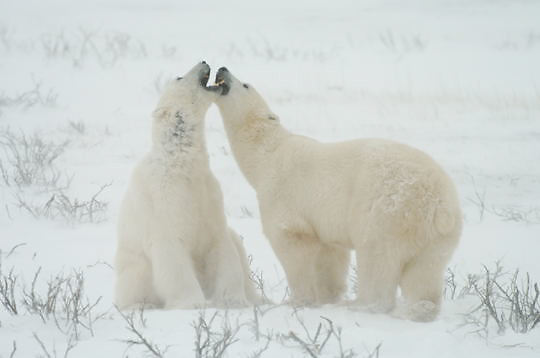 Polar Bear (Ursus maritimus) Two sub adult males playing fighting. Churchill, Manitoba. Canada. Winter.