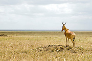 Africa, Tanzania, Serengeti National Park Topi (Damaliscus korrigum) looks out into the distance