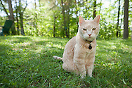 Orange cat sitting in the grass looking at the camera