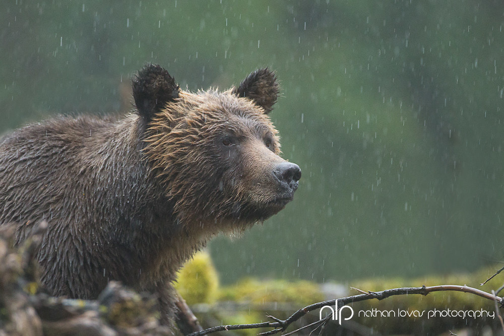 Brown Bear standing on a river bank during rain downpour;  British Columbia in wild.
