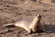 Northern Elephant Seal (Mirounga angustirostris) - California
