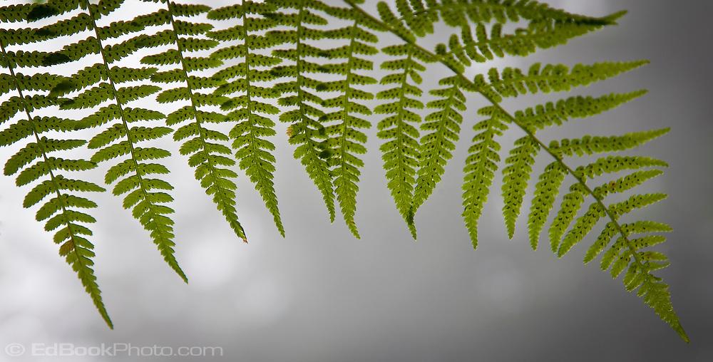 Bracken fern (Pteridium aquilinum)frond transluscent in backlight panorama