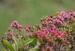 THEMENBILD - Alpenrosen. Die bewirtschaftete Alm, wo rund 800 Schafe und 55 Milchkühe im Sommer sind, besteht seit dem Jahre 1779 und wird von der Familie Aberger Dick geführt, Sie liegt unmittelbar bei den Kapruner Hochgebirgsstauseen, aufgenommen am 15. Juni 2017, Fürthermoar Alm, Kaprun, Österreich // Alpine roses. The Fuerthermoar Alm, where around 800 sheep and 55 dairy cows are in summer and is directly next to the Kaprun Hochgebirgsausauseen. The Mountain Hut exists since 1779 and is owned by the family Aberger Dick, taken on 2017/06/15, Kaprun, Austria. EXPA Pictures © 2017, PhotoCredit: EXPA/ JFK