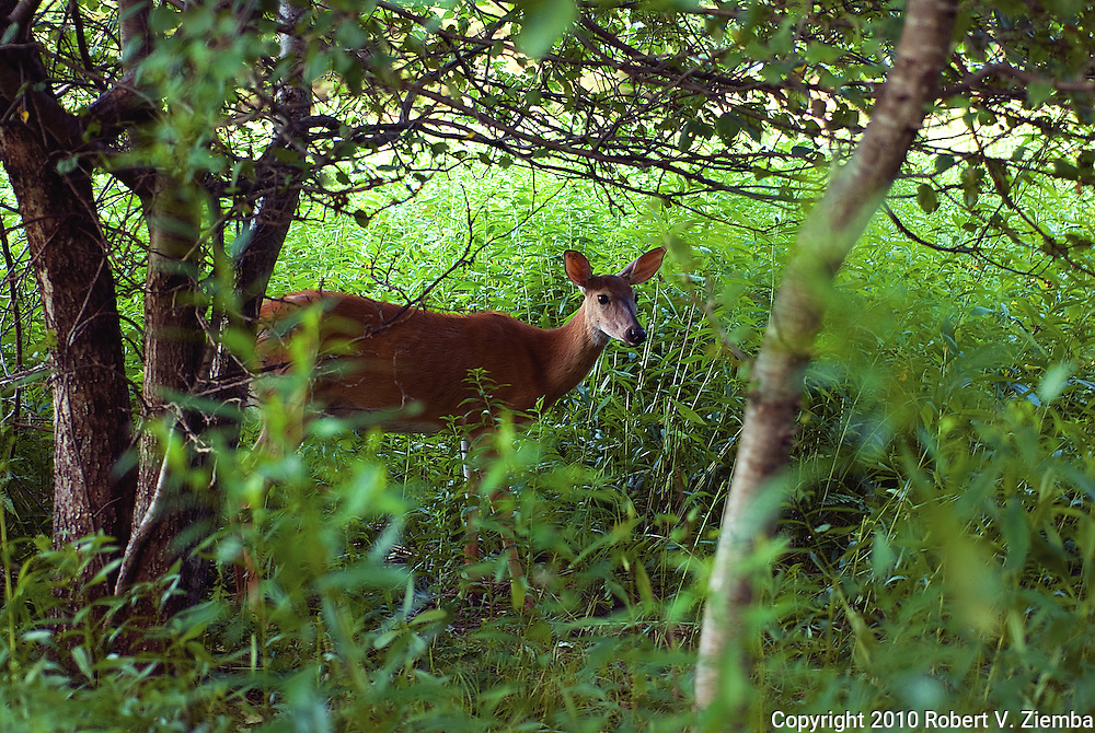 """Under the Apple Tree""-An image of a white-tail deer under an apple tree in Vermont."
