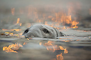 Grey seal bull (Halichoerus grypus) caught in harbour lights reflecting on water, Shetland, Scotland.