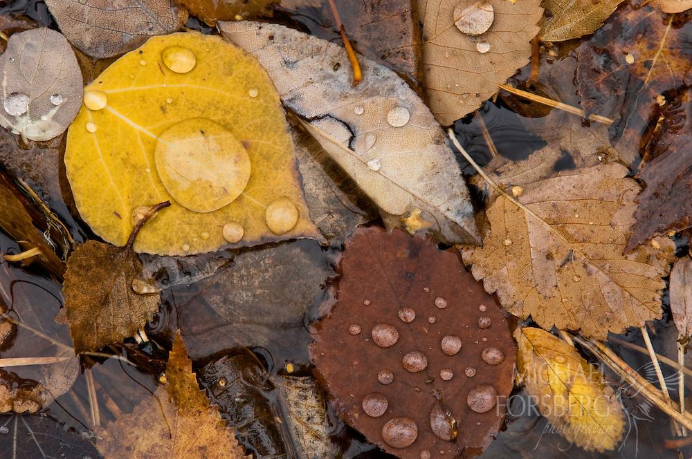 Fallen leaves suspended on surface of near-frozen creek show diversity of tree species in Black Hills forest. Black Elk Wilderness, Black Hills, South Dakota.