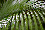 Moisture from a recent rainshower covers foliage in the Daintree Rainforest in North Queensland Australia