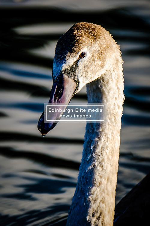 Portrait of a young cygnet at dusk<br /> <br /> (c) Andrew Wilson | Edinburgh Elite media