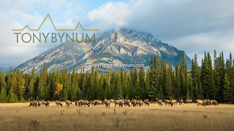 herd of elk grazing in large meadow mountain background with rainbow