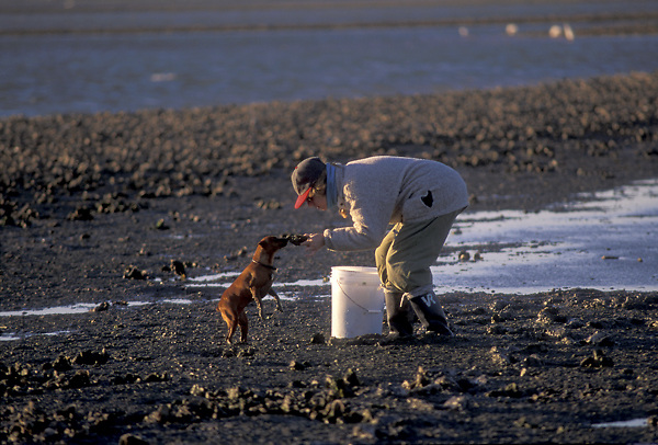 Stock photo of a woman with her small dog collecting oysters and clams from the beach
