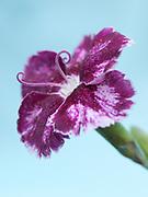 Dianthus 'Allspice' - garden pink