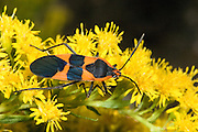 Large Milkweed Bug; Oncopeltus fasciatus; on goldenrod; Backyard; Philadelphia, PA