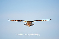 01113-01310 Short-eared Owl (Asio flammeus) in flight at Prairie Ridge State Natural Area, Marion Co., IL