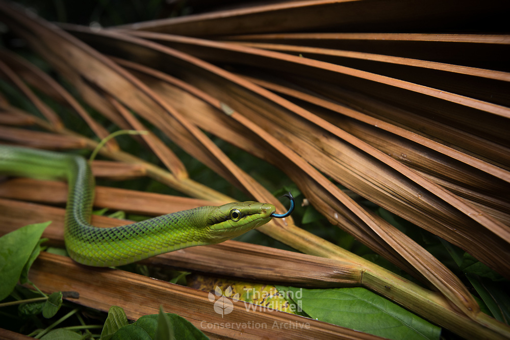 Red-tailed Rat Snake (Gonyosoma oxycephalum) in Krabi, Thailand