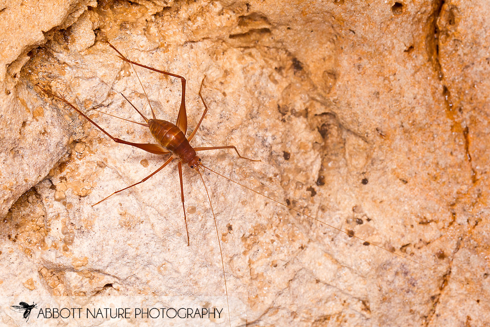 Cave Cricket (Mayagryllus apterus) - female<br /> Belize: Cayo District<br /> Footprint Cave near Ian Anderson's Caves Branch Lodge near Armenia<br /> 27-Sept-2013<br /> J.C. Abbott