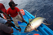 Fishermen from the Maldives haul aboard a yellow fin tuna to the deck of a dhoni boat in the Indian Ocean. The tuna has been swimming across the Indian Ocean non-stop since birth but after being dragged up with hooks, the 50kg fish will be clubbed to death by smashing its skull with repeated blows. Next it will be gutted efficiently with sharp knives and immediately plunged into ice containers to cool the flesh, reducing the risk of self-deteriorating flushed blood which renders it unfit for consumption under EU law (its live internal core temperature is 40 degrees centigrade). When as many fish have been caught before dark using hand and line method, rather than nets, the boat presses on to the processing factory at Himmafushi where they're filleted and boxed for export to Europe and in particular, for UK supermarkets like Sainsbury's.
